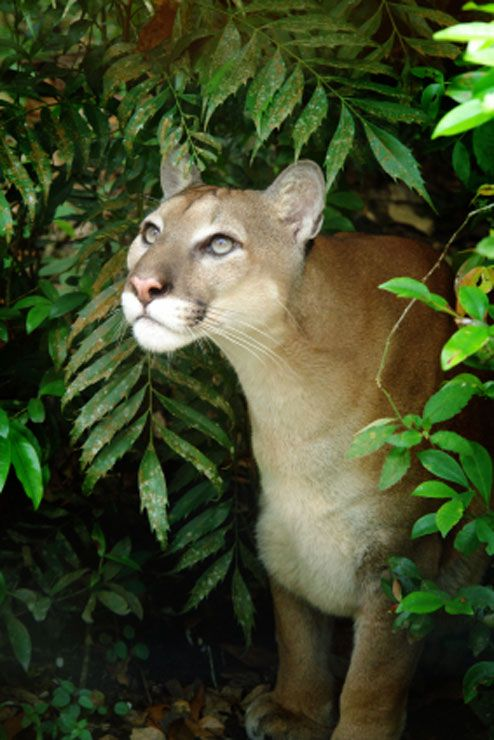 Puma looking up in Corcovado National Park