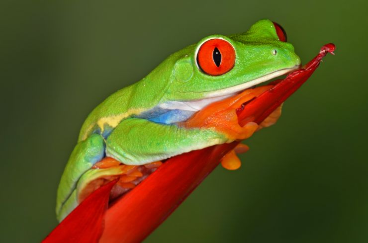 Red Eye Tree Frog - One of my many cousins in the Gandoca - Manzanillo National Wildlife Refuge