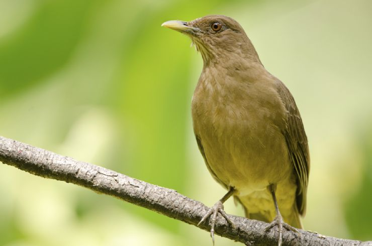 Costa Ricas national bird, Clay-colored Thrush