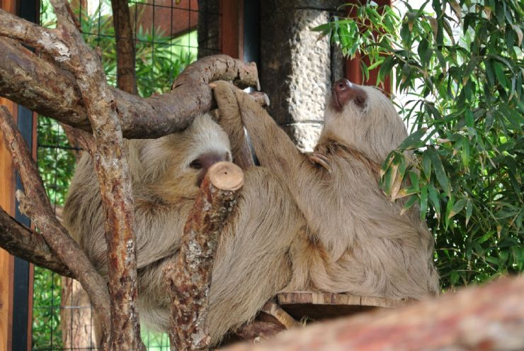 Couple of sloths at La Paz Waterfall Gardens in Heredia