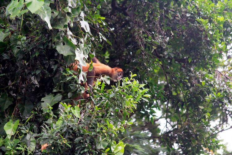 Jumping Spider Monkey