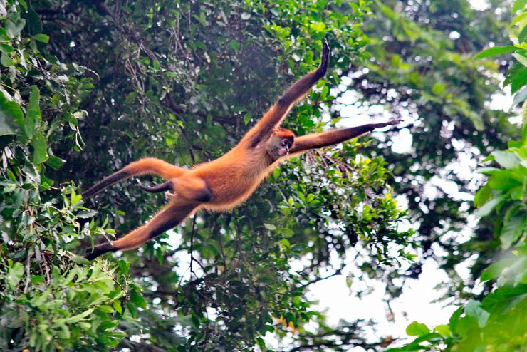 Spider Monkey Jumping from Tree to Tree