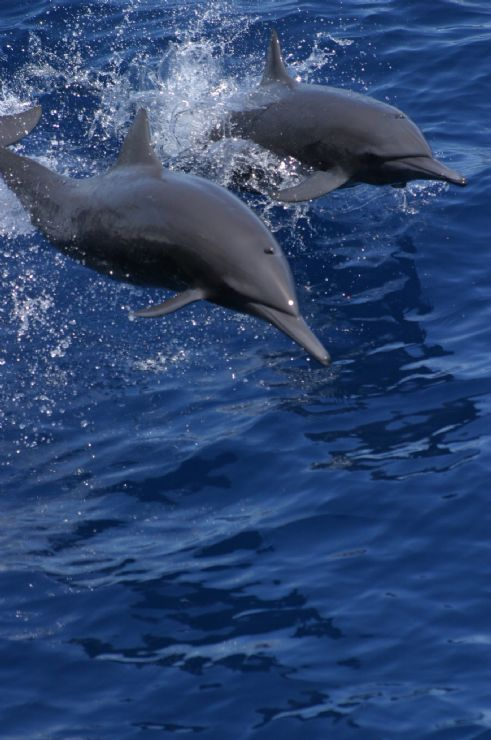 Spinner Dolphins near Tortuga Island