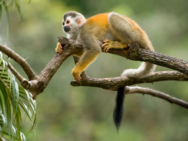 Squirrel Monkey relaxing in tree