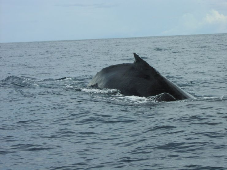 Whale Watching in Drake Bay
