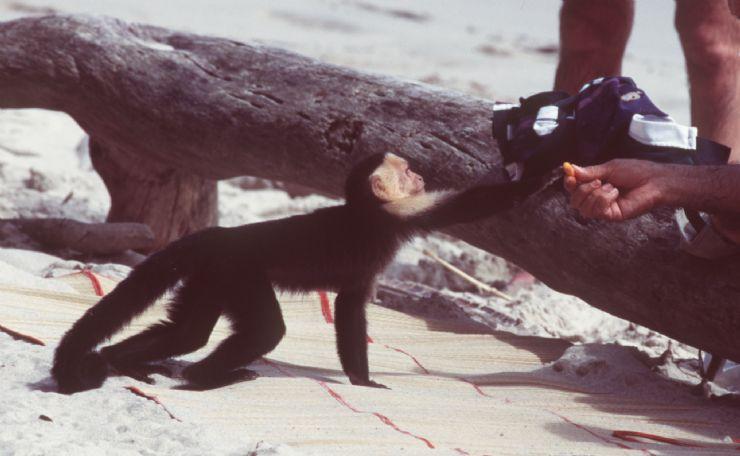 Monkeys Other Mammals In Costa Rica