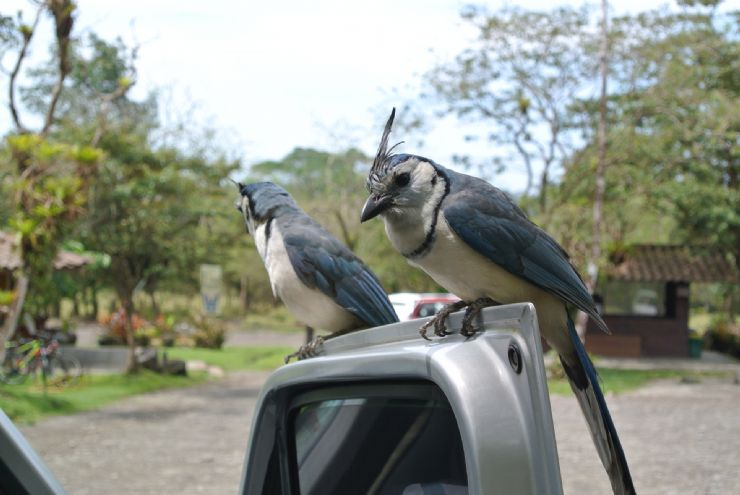 Curious WhiteThroated MagpieJays visiting tourists for food at Arenal Volcano National Park