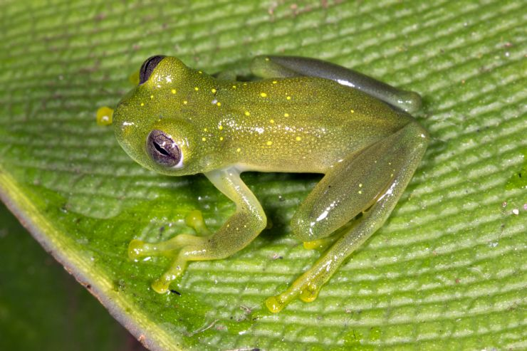 Yellow-flecked Glass Frog at Rio Macho Forest Reserve
