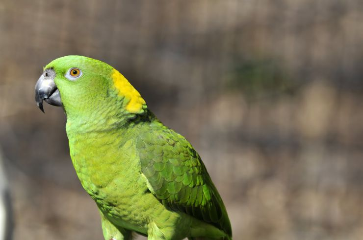 Yellow Naped Parrot on Negritos Island