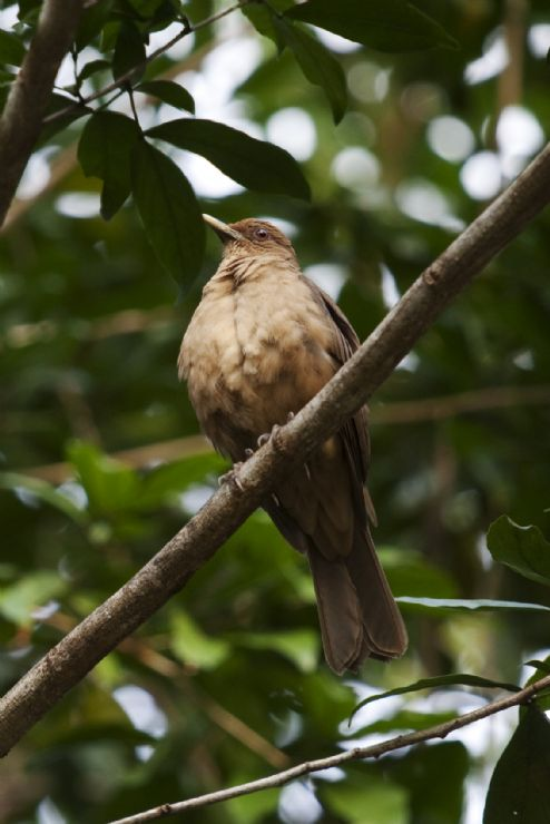 The famous Yigüirro (Clay-colored Thrush), Costa Rica's national bird