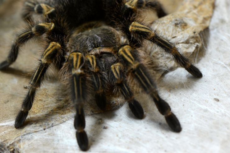 Zebra Tarantula in Palo Verde National Park