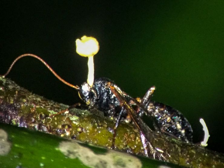 Zombie Fungus takes over wasps body to control its mind, tells it to climb to the highest point it can in the forest, then kills its host to sprout its fungus so the wind spread its spores to another victim.