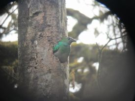 Female quetzal at Monteverde Reserve