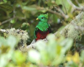Quetzal in the forest in San Gerado de Dota