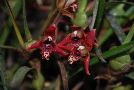 Red orquids in Vara Blanca, La Paz Waterfall Gardens