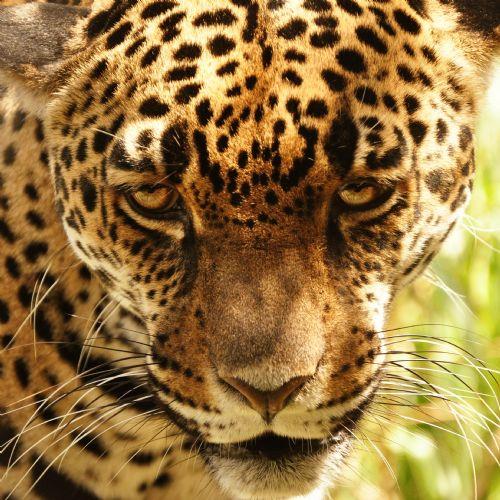 Jaguar Felis Onca: 1000+ Images About Cenobar, Goddess, & Beast On Pinterest