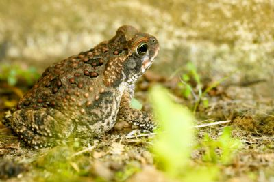 Costa Rica's biggest amphibian: The Giant Toad - Go Visit Costa Rica