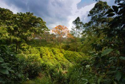 Visiting A Coffee Plantation In Costa Rica Go Visit Costa Rica