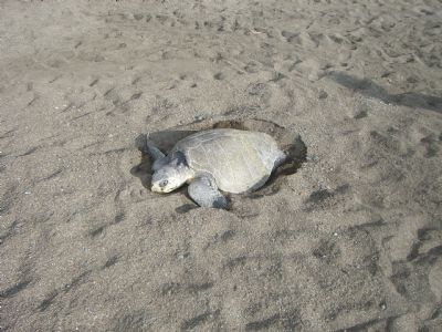Image result for olive ridley turtle egg collection