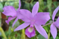 The Purple Country Girl: History of Costa Rica's National Flower