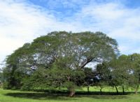 The Guanacaste Tree: History of Costa Rica's National Tree