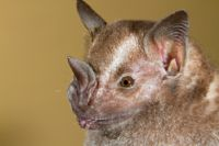 The Jamaican fruit bat is critical for seed distribution in Costa Rica