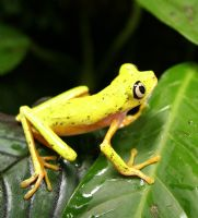 Zoos establish captive breeding program to save the lemur leaf frog