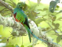 Spotting the elusive quetzal bird in Costa Rica