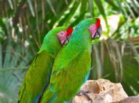 Conservationists work to protect the great green macaw