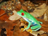 Costa Rica's famous red-eyed tree frog