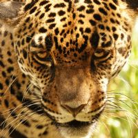 Jaguar Conservation Programs in Costa Rica