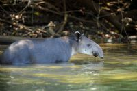 The Baird's Tapir provides a great reason to explore Costa Rica